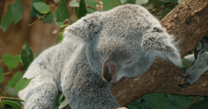 Koala asleep on tree